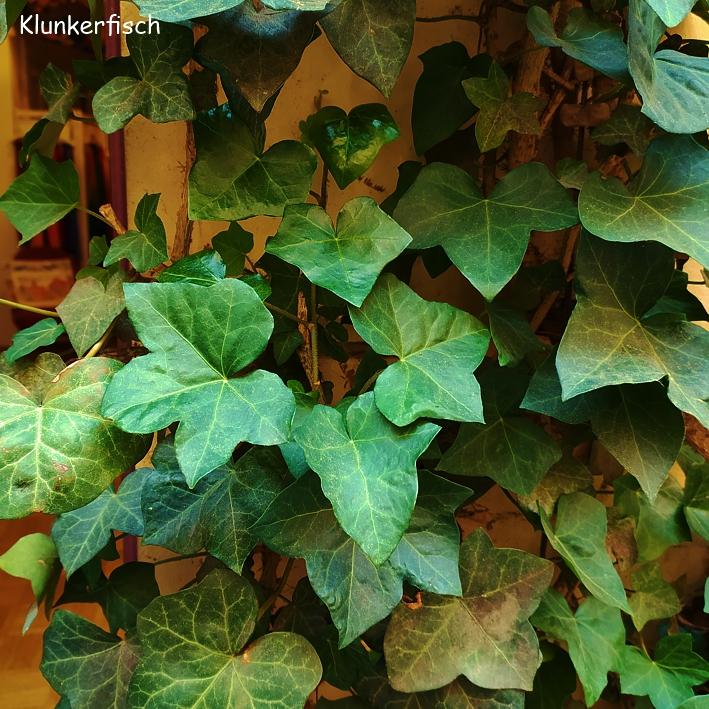 Kletterpflanzen am Klunkerfisch-Laden: Efeu